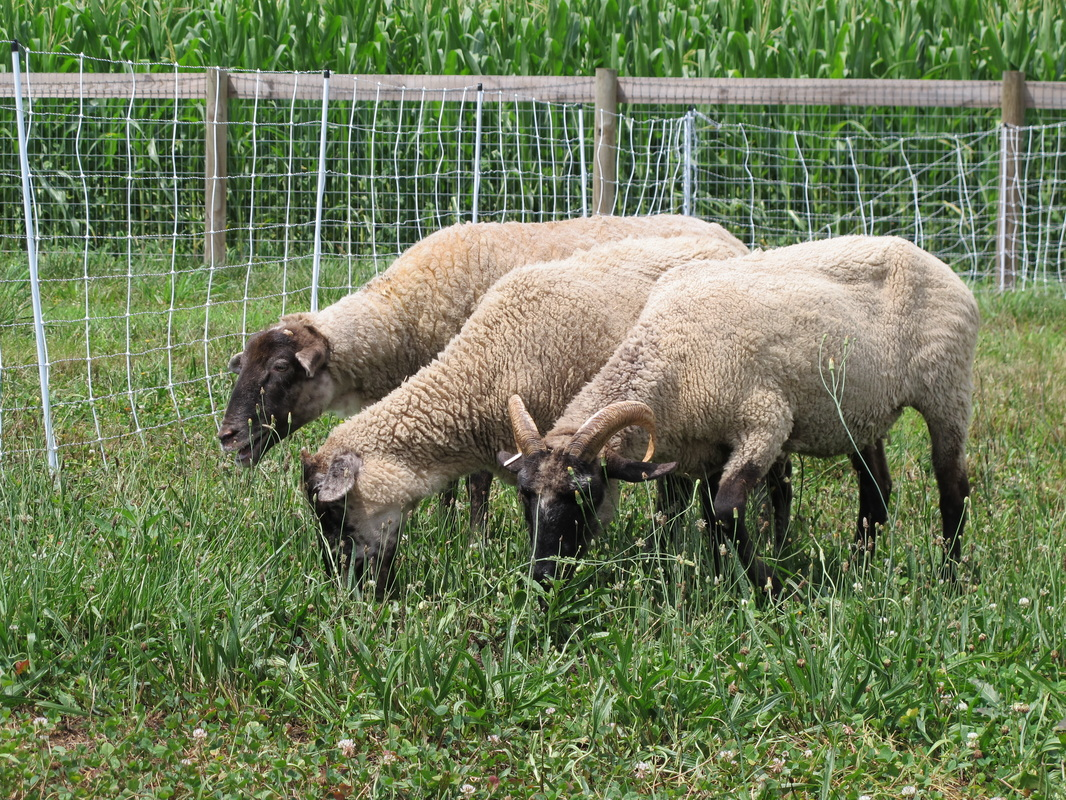 New Additions: Hog Island Sheep, shared by La Bella Farm at The Chicken Chick's Clever Chicks Blog Hop